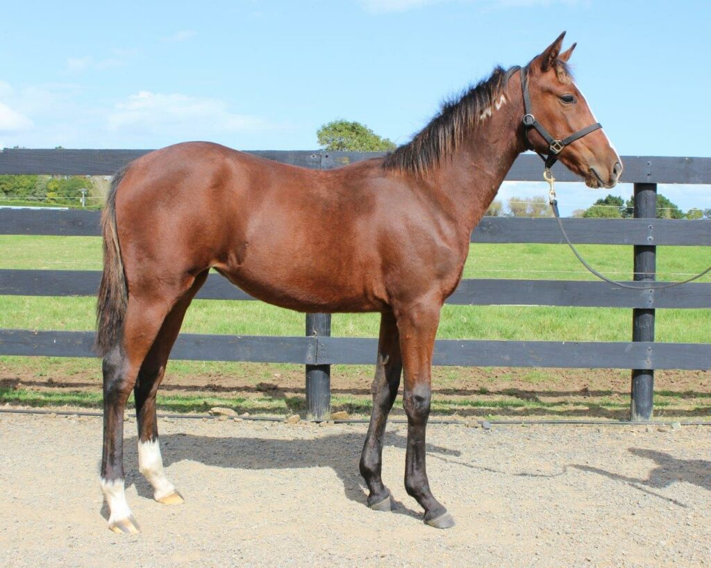 Lot 34 Sweet Lou – Taylor Kate Filly
